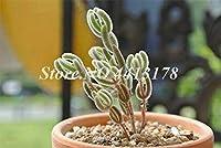 300個/袋簡単に育てレアジューシーなミニうさぎLithops Pseudotruncatellaポットフラワー肉質Y盆栽園の種子:6
