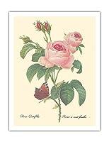 """ローズ・センティフォリア(百花びらのバラ) - から:""""最も美しい花の選択"""" - ビンテージな植物のイラスト によって作成された ピエール=ジョゼフ・ルドゥーテ c.1833 - アートポスター - 51cm x 66cm"""