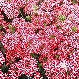 【花壇】 バーベナ ミータン 4.5号 【イングリッシュガーデン】