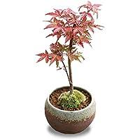 小品盆栽:出猩々もみじ(瀬戸焼鉢)*茶丸