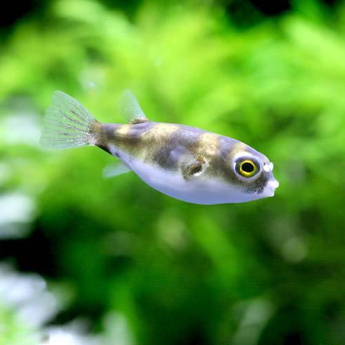 (熱帯魚)南米淡水フグ Sサイズ(3匹) 本州・四国限定[生体]