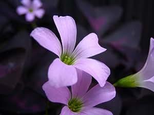 オキザリス/トリアングラリス(レグネリー)淡ピンク?白花