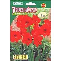 春植え球根 八重咲アマリリス レディージェーン (534117)
