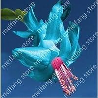 100個シンビジウムの花の種シードシンビジウムの蘭のシンビジウムのセミの種目新しさの花はあなたの庭に色を追加します
