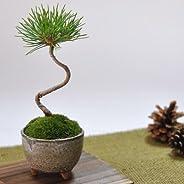 盆栽妙 くろまつミニミニ鉢 幅6cm×樹高11cm