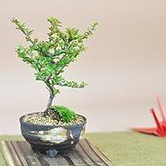 盆栽妙 紅紫檀(べにしたん) 幅13cm×樹高15cm