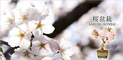 盆栽:一才桜*【5月以降は葉姿でのお届けとなります】