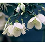 クレマチス:ジングルベル4.5号ポット[2年生苗](冬咲き・シルホサ系) ノーブランド品