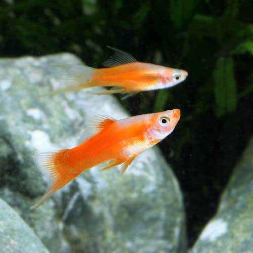 (熱帯魚) ミックスソードテール(6匹) 本州・四国限定[生体]
