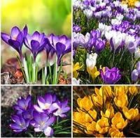 100PCサフラン植物、サフランの花のPlantas、サフランクロッカスの苗、庭の花、植物、盆栽Plante:17
