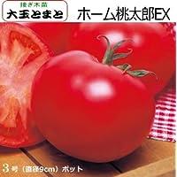 接ぎ木 大玉トマト 苗 ホーム桃太郎EX トマト (接ぎ木)