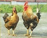 国産 鳥取県産 銘柄鶏 大山しゃも 胴ガラ 1羽分 業務用 冷凍品