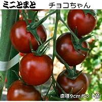 実生 ミニトマト 苗 チョコちゃん 9cmポット