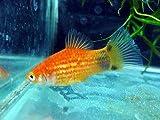 熱帯魚 レッドミッキーマウスプラティ5匹(保証有) 【こだわりの生体をお届けします 名生園】