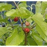 山桑(5寸鉢植え)
