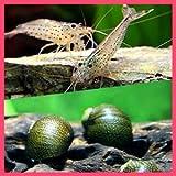 【バリューセット】▼ヤマトヌマエビ(約3-4cm)(5匹)  + 石巻貝(約-cm)(10匹)[生体]