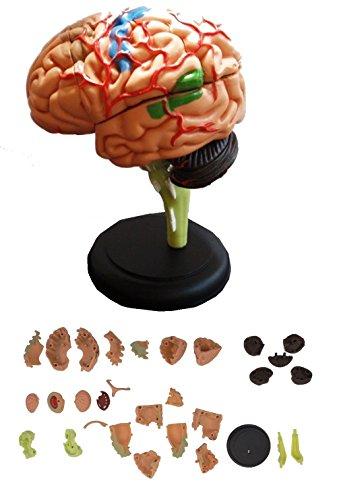 MedianField 【 脳 模型 32パーツ 分解 モデル 】 人体模型 立体 脳みそ リアル 人体 (脳 模型)