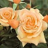 バラ苗 フレグラントアプリコット 国産大苗6号スリット鉢 フロリバンダ(FL) 四季咲き中輪 オレンジ系