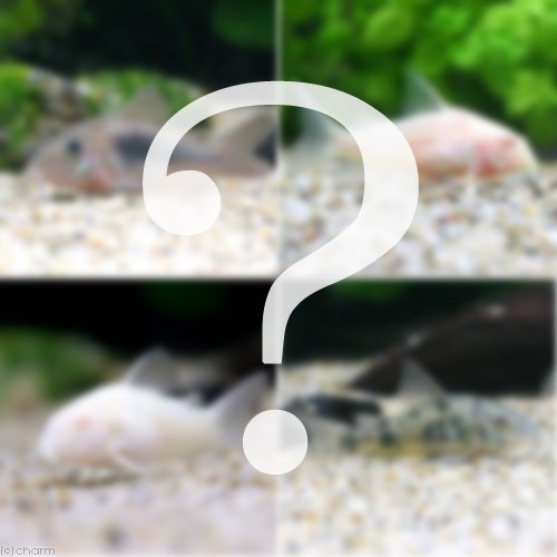 (熱帯魚)おまかせコリドラス(5匹) 本州・四国限定[生体]