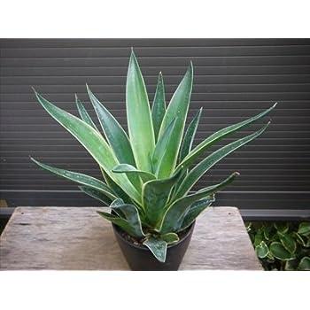 アガベ・ベネズエラ錦 リュウゼツラン 竜舌蘭 観葉植物