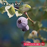 ブルーベリー 苗 ブルーシャワー ラビットアイ系3年生大苗 【挿し木】 blueberry