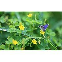 春、黄色の野の花と青い蝶の息 キャンバスの 写真 ポスター 印刷 旅行 風景 景色 - (105cmx70cm)