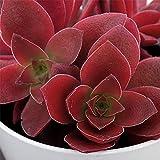 セダム:カクレイ(赫麗)3.5号ポット 2株セット[クラッスラ 冬に赤く紅葉する人気の多肉植物] ノーブランド品