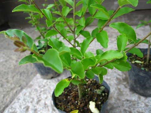 プリペット 樹高30cm前後 ポット苗 生垣に最適です!人気の常緑低木樹♪
