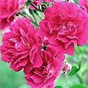 つるバラ:キングローズ5号角鉢トレリス仕立て とげ少なめ 一季咲き