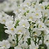 50+白い騎士ネメシアの花種/ Strumosa /年