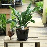 観葉植物:オモト 万年青*ベターポットラウンドB 受け皿付 陶器鉢 おもと
