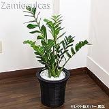 ザミオクルカス 75cm~85cm 白陶器鉢+黒鉢カバー 生花 観葉植物