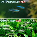 (熱帯魚)グリーンネオンテトラ(10匹) + ブラック・ネオン(10匹) 本州・四国限定[生体]