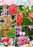 ビッグセール100粒/パック、インパチェンスWallerianaテンポウェッジウッドミックスの花の種子