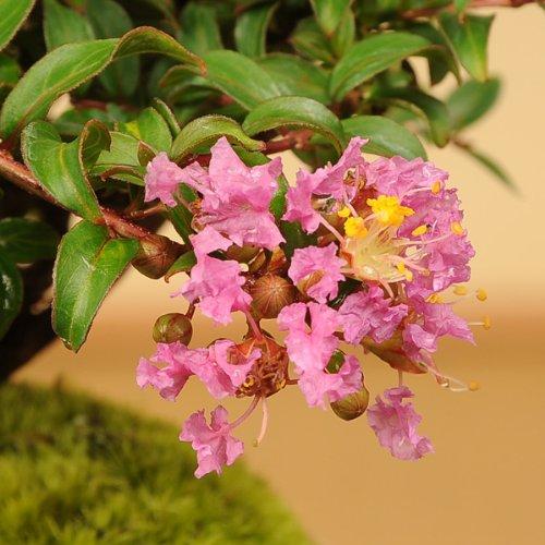 小品盆栽:サルスベリ(瀬戸焼小鉢)*