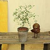 観葉植物:ソフォラ ミクロフィラ*メルヘンの木 モスポット バークチップ そふぉら