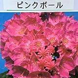 鉢花:カルミア*アメリカシャクナゲ(5号)【品種選べます】 (ピンクボール)