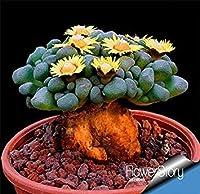 PLAT会社:ビッグ10個入り/ビューティフル希少種多肉種カクタスlithopsハイブリッド盆栽種子、#のKWPE11