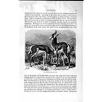 自然史の 1894 のスプリングボックの Dorcas のガゼルの Ungulates