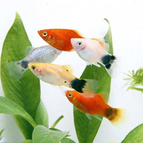 (熱帯魚) ミックスプラティ(4匹) 本州・四国限定[生体]