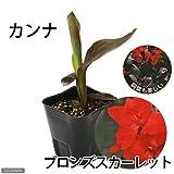 (ビオトープ/水辺植物)カンナ トロピカル ブロンズスカーレット(1ポット分) [生体]