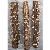 ホダキング(しいたけホダ木オガ菌完熟90cm)4本セット[ボリューム満点の椎茸が発生!]
