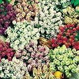 国華園 花たね アリッサム混合 1袋(約100粒)【※発送が国華園からの場合のみ正規品です】