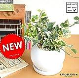 LAND PLANTS アイビー 白色丸型陶器鉢に植えた ヘデラ 斑入り葉 緑葉【斑入り葉 (ふいり)】