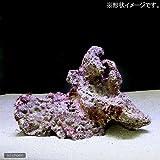 (海水魚)組上済み 養殖ライブロック Mサイズ(形状お任せ) 本州・四国限定[生体]
