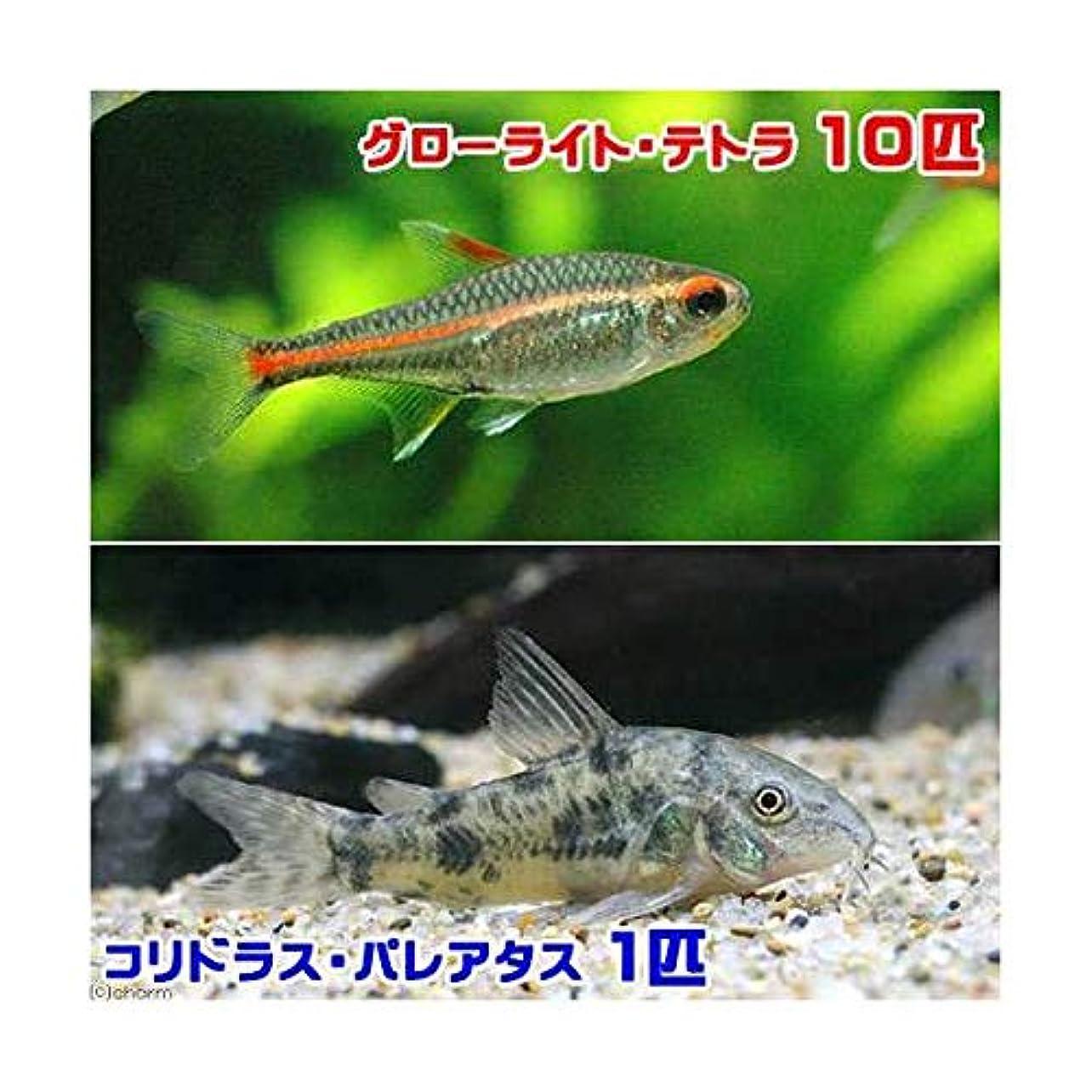 生きるスキャン卒業(熱帯魚)グローライト?テトラ(10匹) +コリドラス?パレアタス(1匹) 北海道航空便要保温