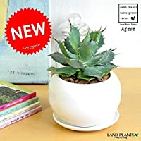 LAND PLANTS アガベ(雷神) 白色丸形陶器鉢に植えた アロエの木