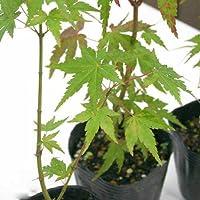 (盆栽)モミジ(椛) 苗 品種おまかせ 2.5号(1ポット) 本州・四国限定[生体]