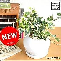 LAND PLANTS アイビー 白色丸型陶器鉢に植えた ヘデラ 斑入り葉 緑葉【緑葉】