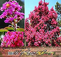 100 Xクレープミックス種子種子 - ブルーム最後の120日 - Lagerstria - パーフェクトとして低木または小種子 - ゾーン6から9 -